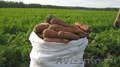 ✔ Продаем морковь со склада г.Тольятти