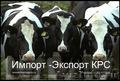 Продажа племенных нетелей молочного направления с продуктивностью от 7000