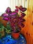 Продаю комнатное растение Колеус  Бардо. Тольятти.
